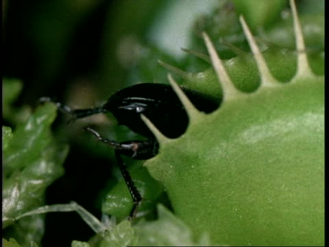 cu stag beetle caught in venus flytrap, dionaea muscipula, insectivorous plant, united kingdom - insectivore stock videos & royalty-free footage