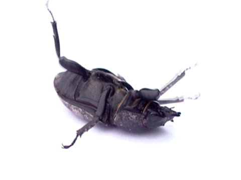 stag beetle ntsc - invertebrate stock videos & royalty-free footage