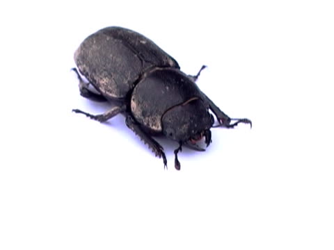 stag beetle pal - invertebrate stock videos & royalty-free footage