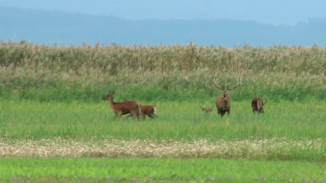 Stag chasing opponent - Lake Neusiedl