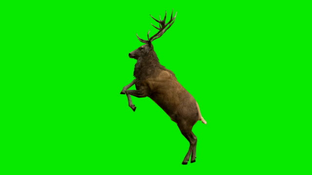 stag curvet green screen (loopable) - green matte stock videos & royalty-free footage