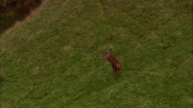 aerial, zo, stag on grassy hillside, exmoor national park, somerset, england - exmoor national park stock videos & royalty-free footage