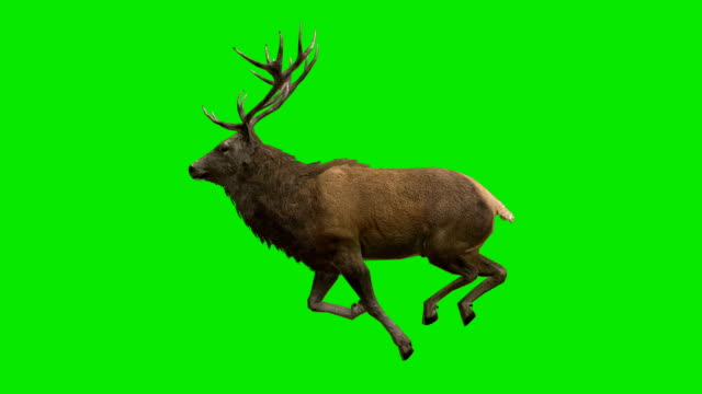 stag run green screen (loopable) - green colour stock videos & royalty-free footage