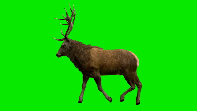 stag walk green screen (loopable) - cut out stock videos & royalty-free footage