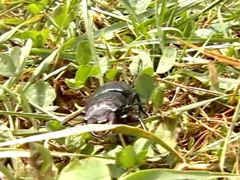 stockvideo's en b-roll-footage met stag-beetle - voelspriet