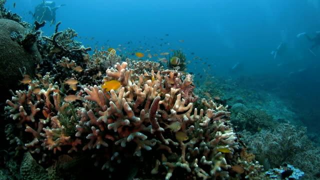 Staghorn coral, damselfish, coral reef, undersea