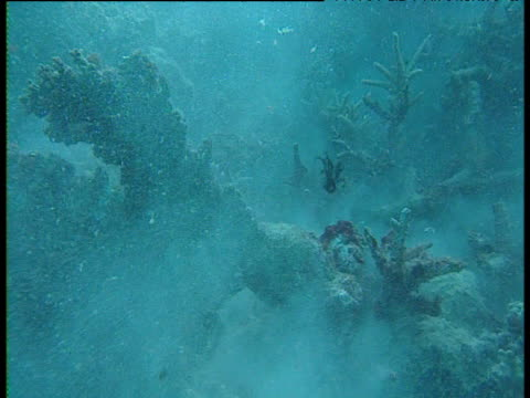 Staghorn corals collapse, Great Barrier Reef