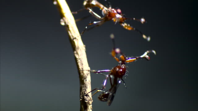 stalk eyed flies fight each other - contest stock videos & royalty-free footage