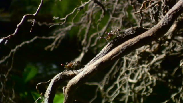 stalk eyed flies on roots - two animals stock videos & royalty-free footage