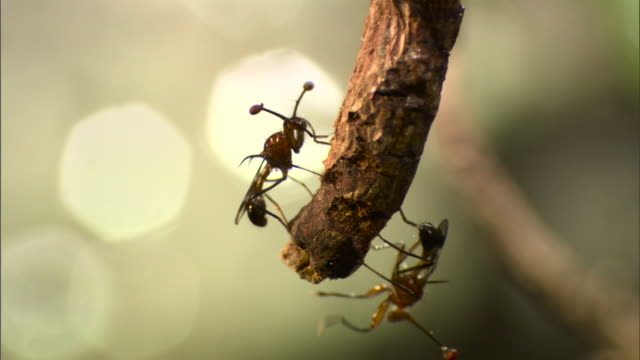 stalk eyed flies on twig - twig stock videos & royalty-free footage