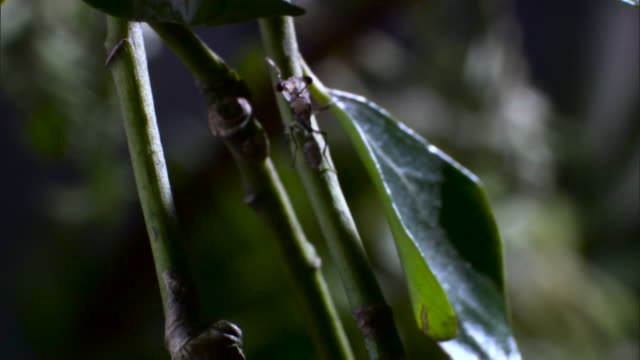 vidéos et rushes de stalk eyed fly climbs up plant - tige d'une plante