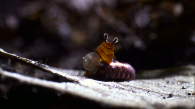 stalk eyed fly emerges from cocoon - puppe stock-videos und b-roll-filmmaterial