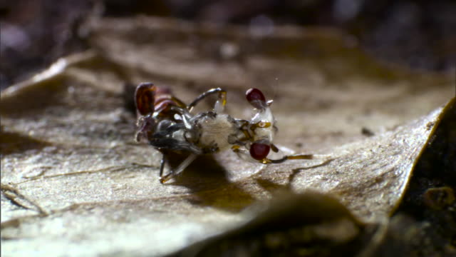 stalk eyed fly emerges from cocoon - kokon stock-videos und b-roll-filmmaterial