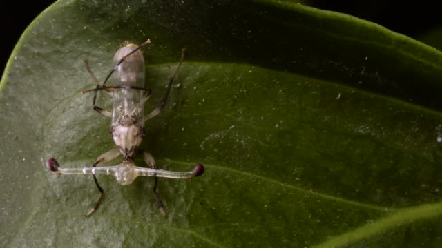 TL Stalk eyed fly expands its eye stalks and wings, UK