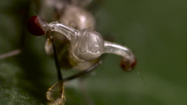 stalk eyed fly grooms on leaf - zweiflügler stock-videos und b-roll-filmmaterial