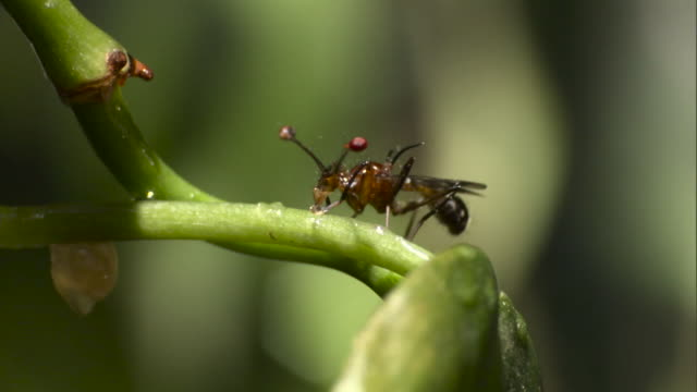 vidéos et rushes de stalk eyed fly on plant stem - tige d'une plante