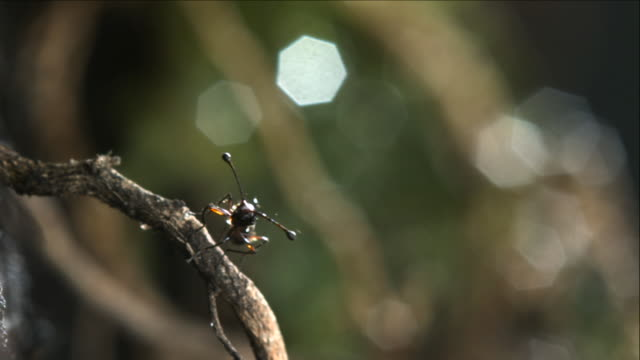 stalk eyed fly takes off from twig - twig stock videos & royalty-free footage