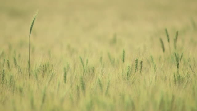 stalk of grass rising above field of wheat - edmonton stock videos and b-roll footage