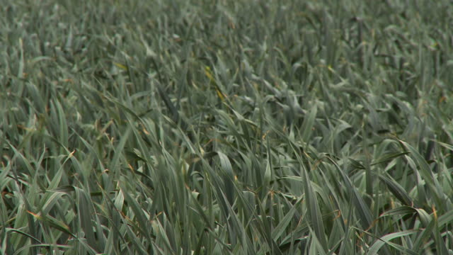 stalk reeds whipping in wind - prairie stock videos & royalty-free footage