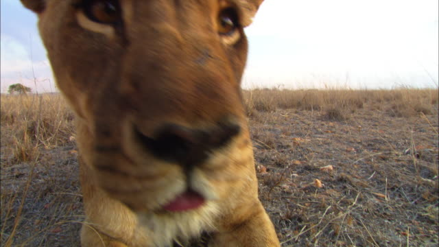 ECU stalking African lioness very close to camera then rushes out of frame