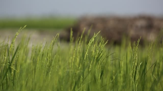 stalks of rice in a paddy field
