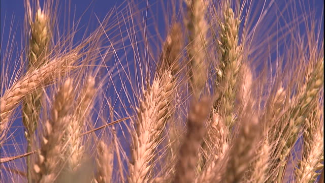stalks of wheat grow in a field. - palouse stock videos & royalty-free footage