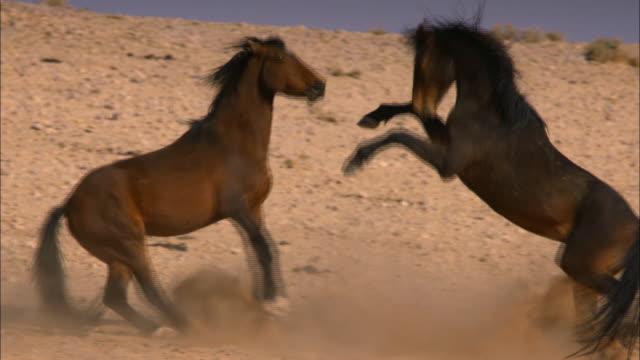 stallion fight (africa) - stallion stock videos & royalty-free footage