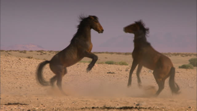 stallion fight (africa) - wildtier stock-videos und b-roll-filmmaterial