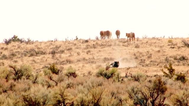 stallion rolling in dust wild west wild horses steens mountain near malhuer wildlife refuge 7 - stallion stock videos & royalty-free footage
