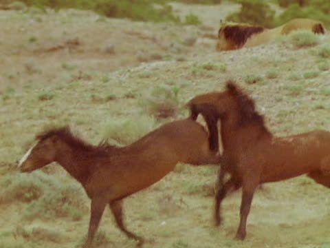 stallion trying to herd mare for mating - comportamento animale video stock e b–roll