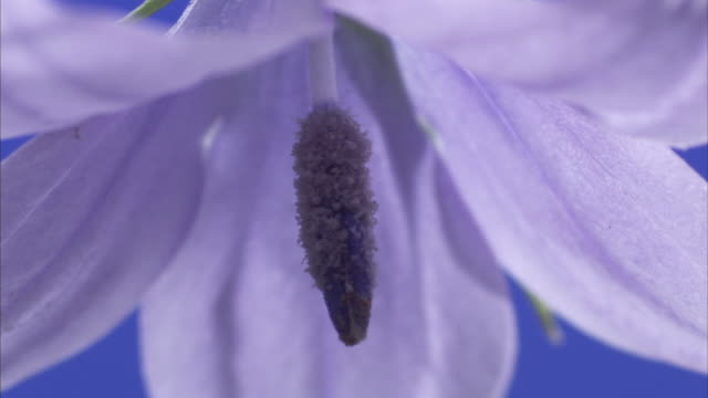 a stamen hangs in the middle of a delicate purple flower. available in hd - stamen stock videos and b-roll footage
