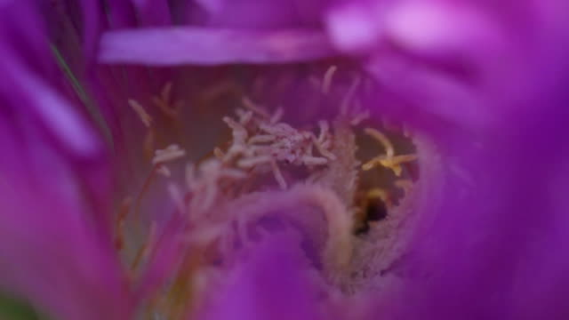 ecu r/f stamen in magenta flower / los angeles, california, usa - stamen stock videos & royalty-free footage