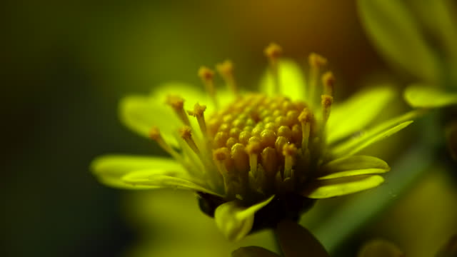 stamen of chrysanthemum boreale standing up - ecosystem stock videos & royalty-free footage