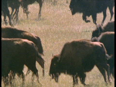 stampeding herd of bison, south dakota - american bison stock videos & royalty-free footage