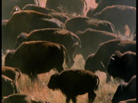 stampeding herd of bison, south dakota - stampeding stock videos & royalty-free footage
