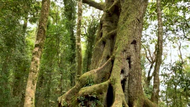 Stand Of Antarctic Beech Trees in Australian Rainforest 4K