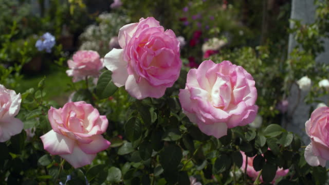 stand of 'royal land' roses - bush stock videos & royalty-free footage