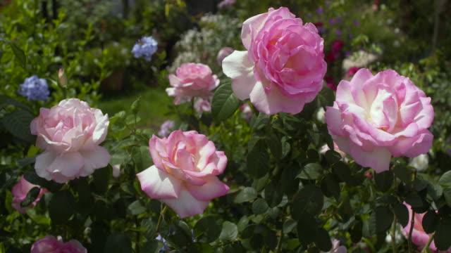 vídeos de stock e filmes b-roll de stand of 'royal land' roses - arbusto