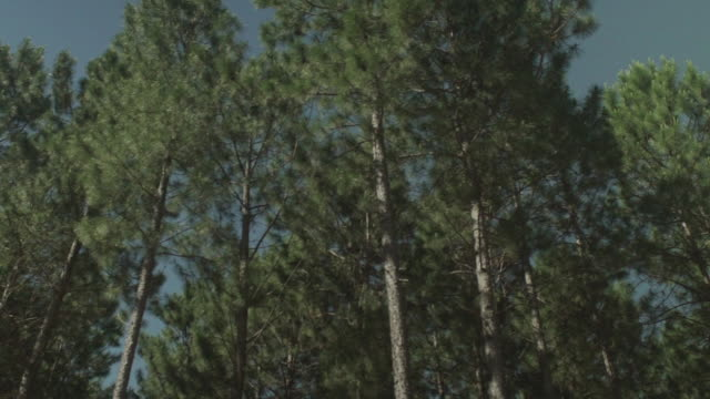 stockvideo's en b-roll-footage met stand of tall slender pine trees - naaldbos