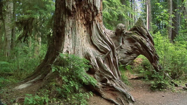 vídeos de stock, filmes e b-roll de zi, cu, standing dead tree roots, olympic national park, washington, usa - olympic national park