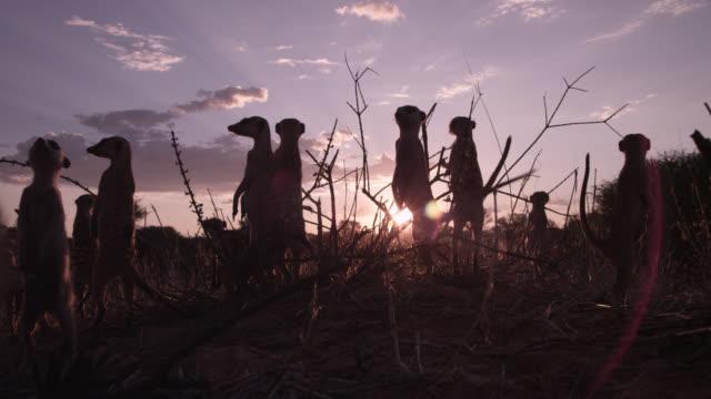 Standing meerkat (Suricata suricatta) sentries peer around at sunset, South Africa