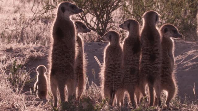 standing meerkat (suricata suricatta) sentries peer around in desert, south africa - guarding stock videos & royalty-free footage