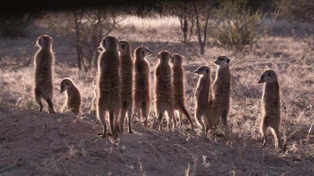 standing meerkat (suricata suricatta) sentries peer around, south africa - guarding stock videos & royalty-free footage