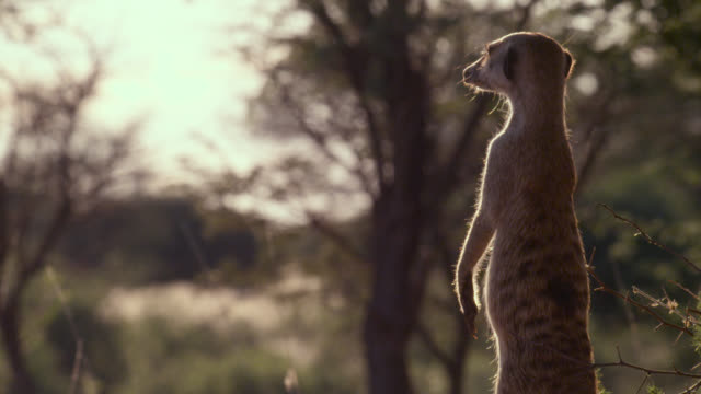 standing meerkat (suricata suricatta) sentry peers around, south africa - guarding stock videos & royalty-free footage