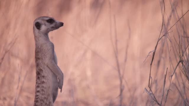 standing meerkat (suricata suricatta) sentry peers around, south africa - alertness stock videos and b-roll footage