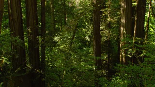 Stands of redwoods