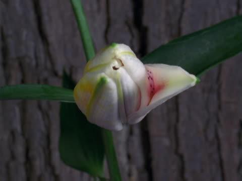 vídeos de stock, filmes e b-roll de star gazer lily - lilium stargazer