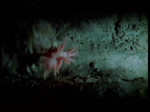 Star nosed mole hunts for worms in tunnel, USA