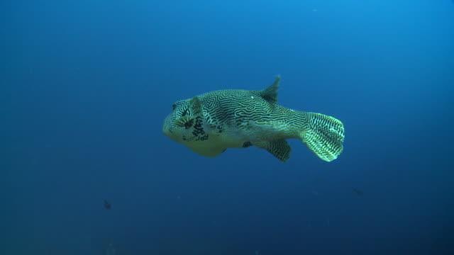 star pufferfish (arothron stellatus) swimming away from camera, nusa lembongan, bali, indonesia - animal fin stock videos & royalty-free footage