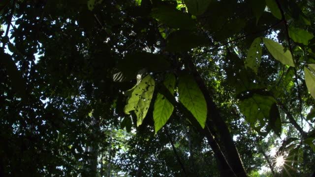 vídeos de stock, filmes e b-roll de starburst sunshine peaking through rainforest canopy, 4k wide left slide - tambopata